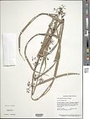 view Scleria flagellum-nigrorum P.J. Bergius digital asset number 1