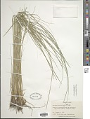 view Carex lenticularis digital asset number 1