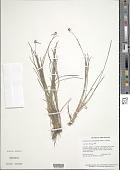 view Calyptrocarya monocephala Hochst. ex Steud. digital asset number 1