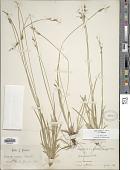 view Carex communis var. communis digital asset number 1