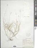 view Carex loliacea L. digital asset number 1