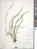 view Carex leptonervia (Fernald) Fernald digital asset number 1