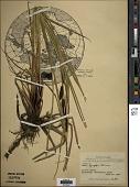 view Carex lyngbyei Hornem. digital asset number 1