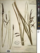 view Carex littoralis digital asset number 1
