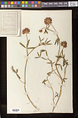 view Trifolium sp. digital asset number 1
