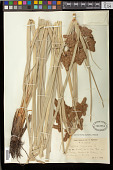 view Cyperus ligularis L. digital asset number 1