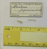 view Clathranachis japonica (Adams, 1860) digital asset number 1