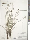 view Carex complanata Torr. & Hook. digital asset number 1