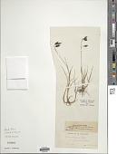 view Carex ustulata Wahlenb. digital asset number 1