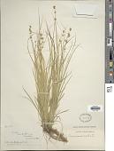 view Carex rosea Schkuhr ex Willd. digital asset number 1