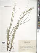 view Carex scabrella Wahlenb. digital asset number 1