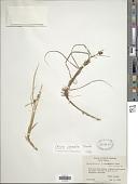 view Carex pumila Thunb. digital asset number 1