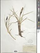 view Carex nebraskensis Dewey digital asset number 1