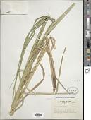 view Carex trichocarpa Muhl. ex Willd. digital asset number 1