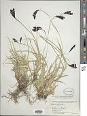 view Carex nivalis Boott digital asset number 1