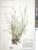 view Carex texensis digital asset number 1