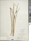 view Carex rostrata Stokes digital asset number 1