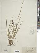 view Carex glauca Scop. digital asset number 1
