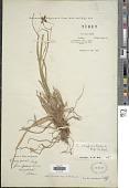 view Carex coriophora Fisch. & C.A. Mey. ex Kunth digital asset number 1