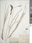 view Carex paniculata L. digital asset number 1