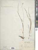 view Carex brizoides L. digital asset number 1