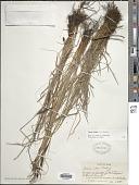 view Carex nigra (L.) Reichard digital asset number 1