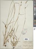 view Carex sp. digital asset number 1
