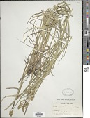view Carex normalis Mack. digital asset number 1