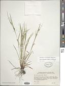 view Carex oligocarpa Schkuhr ex Willd. digital asset number 1