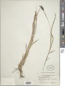 view Carex physocarpa J. Presl & C. Presl digital asset number 1