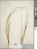 view Carex picta Boott in A. Gray digital asset number 1