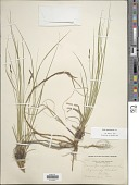 view Carex pensylvanica Lam. digital asset number 1