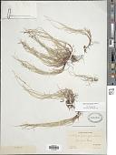 view Carex novae-angliae digital asset number 1