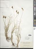view Carex proposita Mack. digital asset number 1