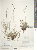 view Carex vaginata Tausch digital asset number 1
