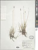 view Carex parryana Dewey digital asset number 1