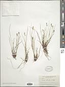 view Carex sterilis Willd. digital asset number 1