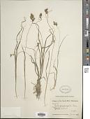 view Carex psychrophila Nees digital asset number 1