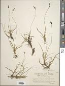 view Carex approximata All. digital asset number 1