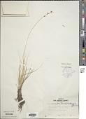 view Carex ormantha (Fernald) Mack. digital asset number 1