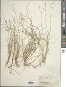 view Carex alba Scop. digital asset number 1