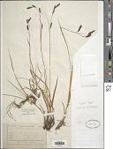 view Carex frigida All. digital asset number 1