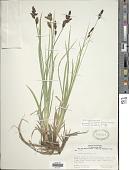 view Carex scopulorum var. bracteosa (L.H. Bailey) F.J. Herm. digital asset number 1