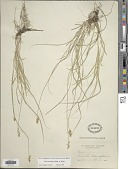 view Carex retroflexa Muhl. ex Schkr. digital asset number 1