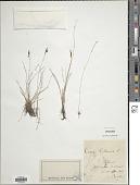 view Carex pulicaris L. digital asset number 1