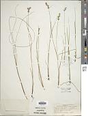 view Carex stellulata Goodenough digital asset number 1
