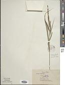 view Carex dispalata Boott digital asset number 1