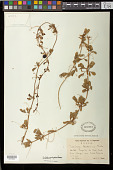 view Passiflora berteriana Balb. & DC. digital asset number 1