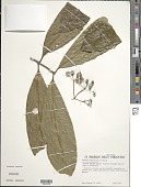 view Faramea multiflora A. Rich. ex DC. digital asset number 1
