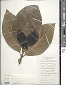 view Morinda citrifolia L. digital asset number 1